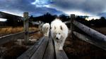 Strolling Samoyeds by Sean Junda